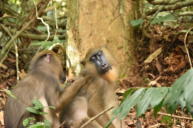 A juvenile female grooming her mother. Physical contact is the ideal basis for the spread of pathogens in Mandrills. Photo: Paul Amblard-Rambert