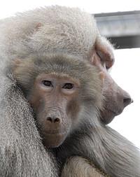 Hamadryas baboons in the outdoor enclosure of the German Primate Center. Photo: Karin Tilch