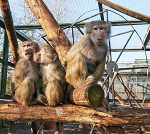 Hamadryas baboons in the outdoor enclosure at the DPZ. Photo: Anton Säckl