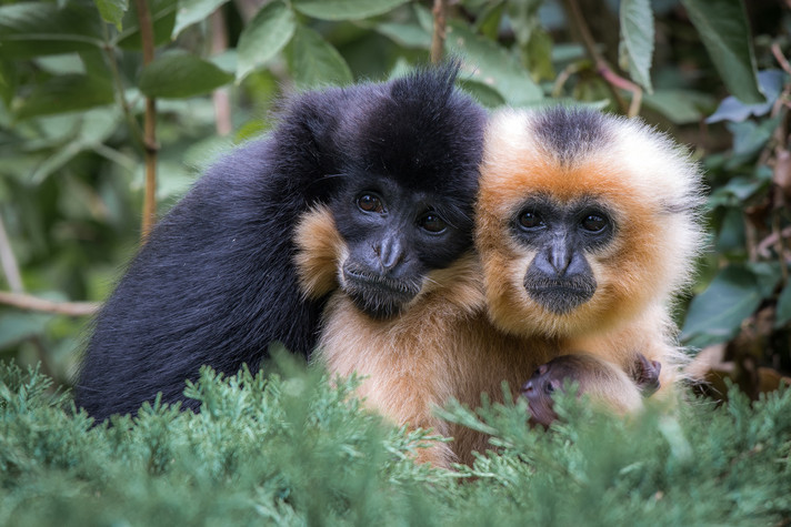 A male, a female yellow-cheeked crested gibbon (Nomascus spec.) with infant. Photo: Bidru/shutterstock.com