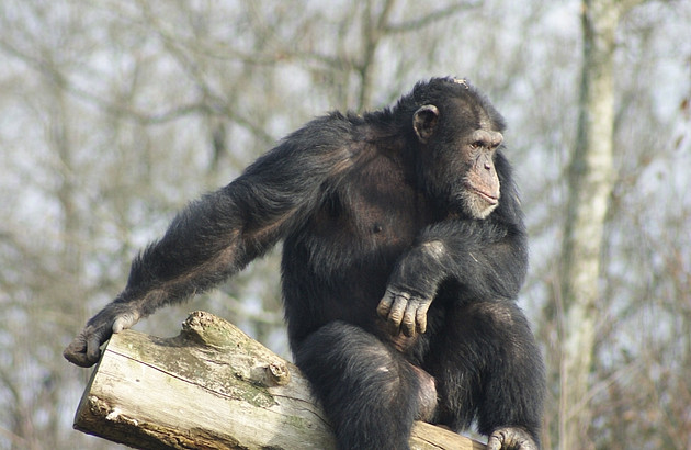 A young male chimpanzee enjoys the sun while sitting on a tree trunk. Photo: Charlotte Defolie