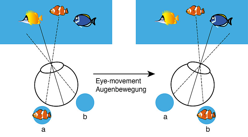 Cartoon demonstrating that different neurons represent an attended stimulus across an eye-movement. The attended stimulus (the reddish-coloured clownfish) falls in the receptive field of neurons representing retinal location a before the eye-movement and in the receptive field of neurons representing retinal location b after the eye-movement. Image: Tao Yao