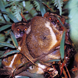 Peyrieras' Woolly Lemur. Photo: Ph. Barazer