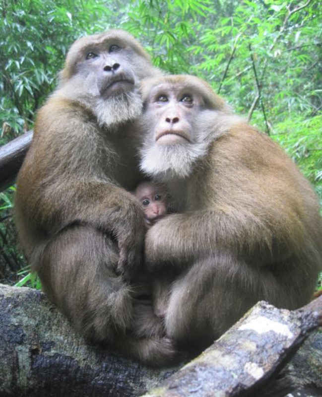 Two male Assamese macaques with an infant. Photo: Foto: Piya Saaisawatikul