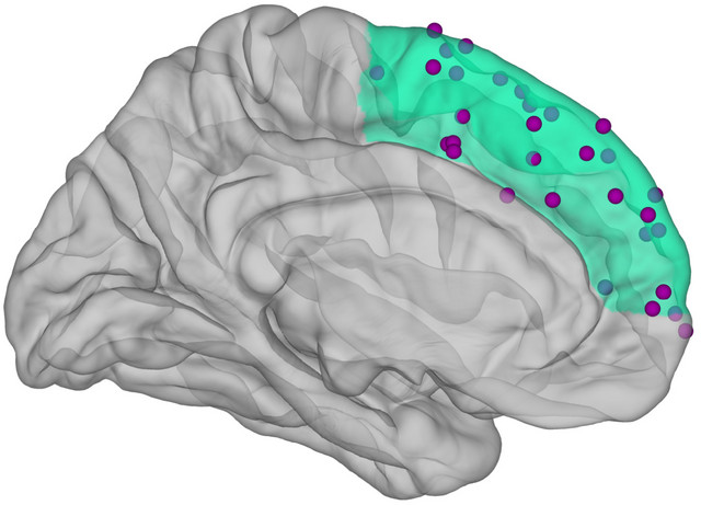 Graphical representation of the human brain. The medial prefrontal cortex is highlighted in green. The places where brain activity was measured are also shown with purple dots. Image: Caspar M. Schwiedrzik