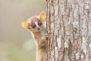 A gray mouse lemur (Microcebus murinus). Photo: Uwe Zimmermann