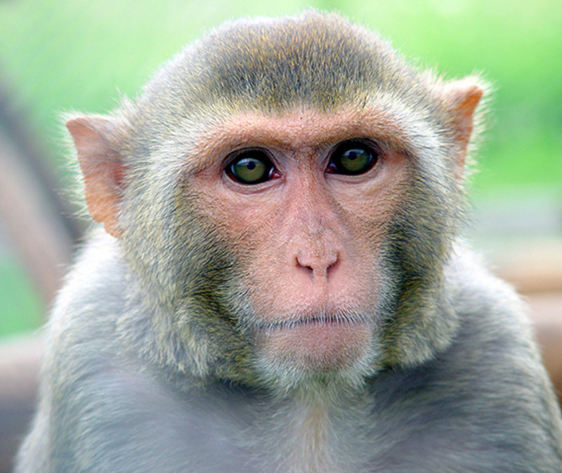 Using a video-based device to measure eye movements, pupil dynamics were analyzed in several subjects as well as in two male rhesus monkeys (Macaca mulatta). Photo: Kurt Fahrner