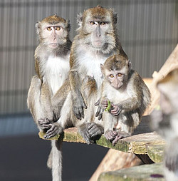 Long-tailed macaques in a breeding group at the German Primate Center. Photo: Anton Säckl