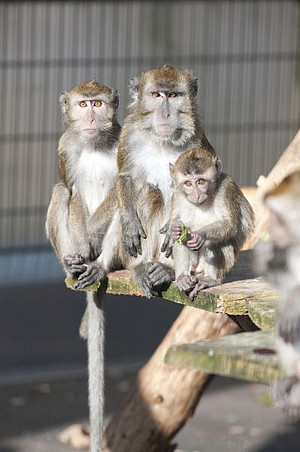 Cynomolgus macaques in an outdoor enclosure at the DPZ. Photo: Säckl