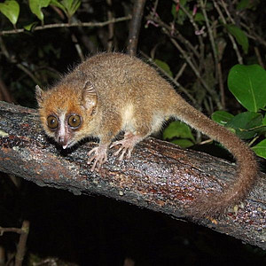 Pygmy Mouse Lemur. Photo: Bikeadventure at Wikipedia