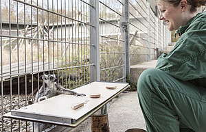 A PhD student conducts an experiment on cognition with a ring-tailed lemur (Lemur catta). Photo: Thomas Steuer