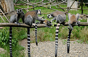 Ring-tailed lemurs in their enclosure at the DPZ. Photo: Margrit Hampe