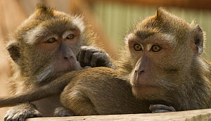 A long-tailed macaque closely monitoring a group member