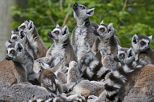 Ring-tailed lemurs live in groups of 6 to 24 individuals. Photo: Christian Schlögl