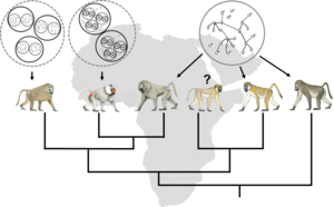 Social systems and  phylogeny of baboons