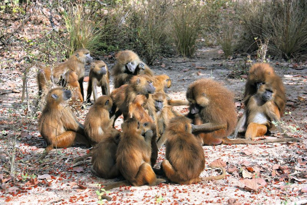 A group of Guinea baboons (Papio papio) at the DPZ field station Simenti in Senegal. Photo: Matthias Klapproth