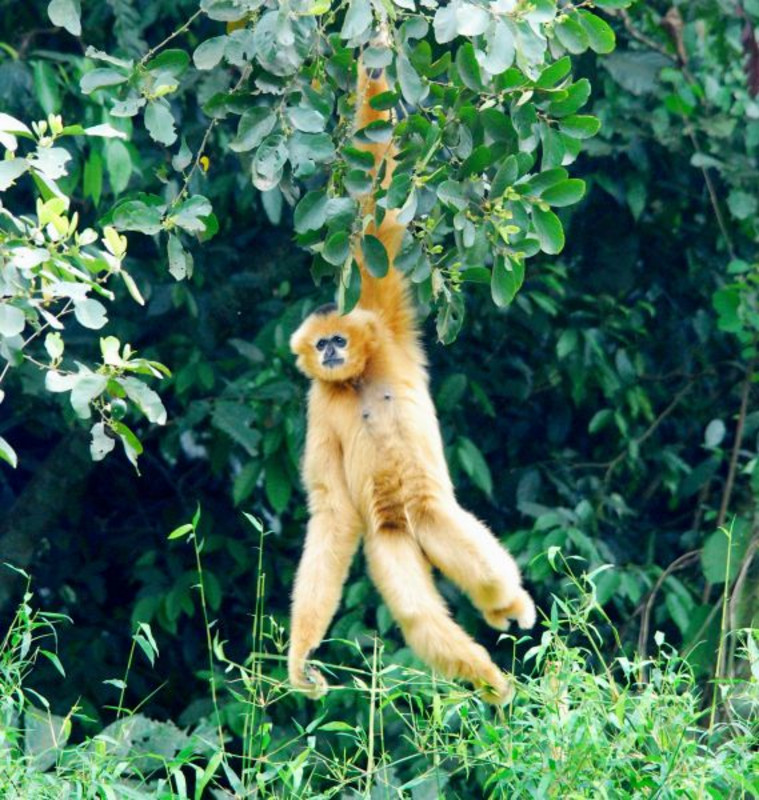 A striking feature of gibbons is their swinging movements from tree to tree. Genes that promote the evolutionary development of longer arms and stronger muscles have undergone a positive selection. Photo: Tilo Nadler