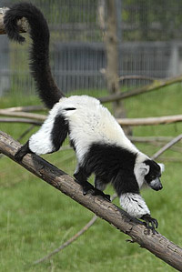 A black-and-white ruffed lemur at the outdoor enclosure at the DPZ. Characteristics of these animals are their thick, black and white fur, the long tail and the dog-like snout. Photo: Karin Tilch