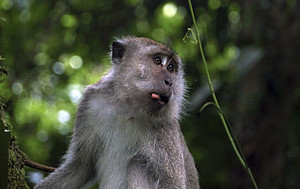 A male long-tailed macaque in Ketambe, Gunung Leuser National Park, Aceh, Sumatra, Indonesia. Photo: Cedric Girard-Buttoz