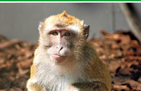 A long-tailed macaque on the cover page of the issue 2/2019. Photo: Margrit Hampe, Layout: Heike Klensang