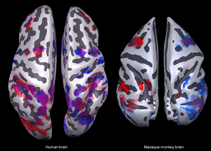 Surface reconstructions of human brain and macaque brain, view from the top. Image: Igor Kagan