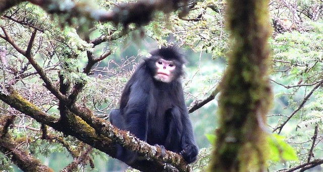 Male Myanmar or black snub-nosed monkey. Photo: Shaohua Dong