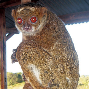 Manombo Woolly Lemur. Photo: N. Adriaholinirina