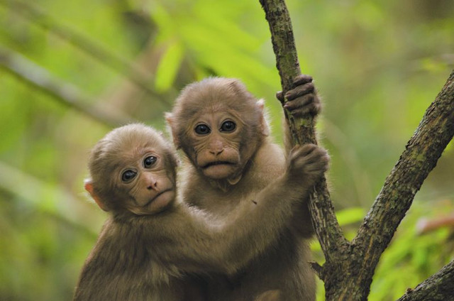 Two young Assamese macaques in Thailand. Photo: Kittisak Srithorn