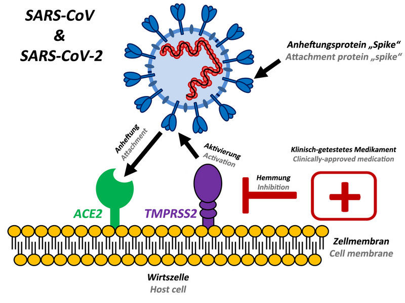 "The attachment protein ""spike"" of the new coronavirus SARS-CoV-2 uses the same cellular attachment factor (ACE2) as SARS-CoV and uses the cellular protease TMPRSS2 for its activation. Existing, clinically approved drugs directed against TMPRSS2 inhibit SARS-CoV-2 infection of lung cells. Illustration: Markus Hoffmann"