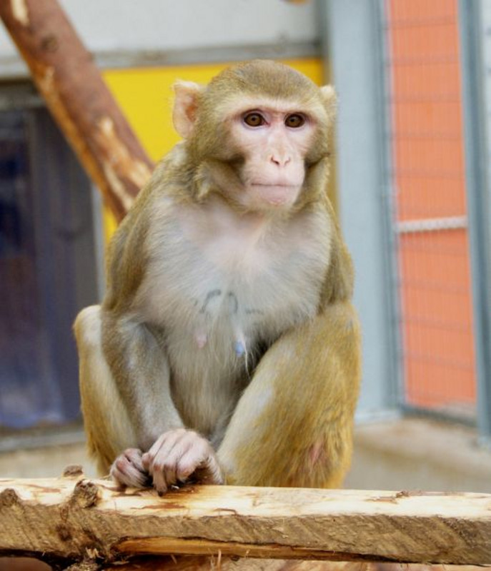A rhesus monkey in the primate husbandry at the German Primate Center. Photo: Margrit Hampe