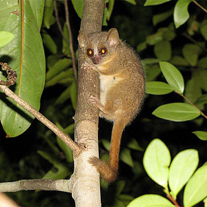 Ganzhorn's mouse lemur. Photo: Guiseppe Donati