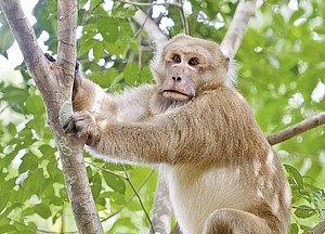 A male Assamese macaque on the watch in Phu Khieo Wildlife Sanctuary, Thailand. Photo: Oliver Schülke
