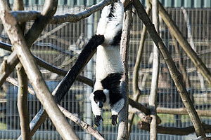 Black-and-white ruffed lemurs mainly live in trees and are therefore excellent climbers. Photo: Anton Säckl