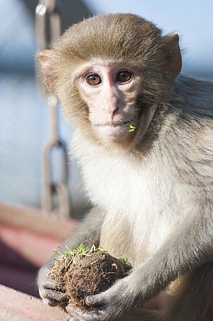 A rhesus macaque at the DPZ
