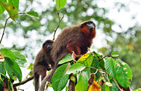 Father and son: Red titi monkeys (Plecturocebus cupreus) in the Amazon rainforest. Photo: Sofya Dolotovskaya