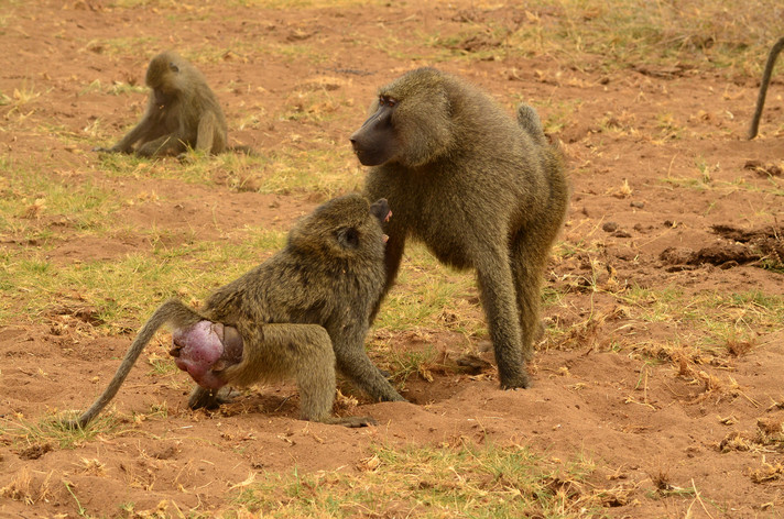 A female olive baboon at peak estrus rejects the mating attempt of a male. Photo: Filipa Paciência