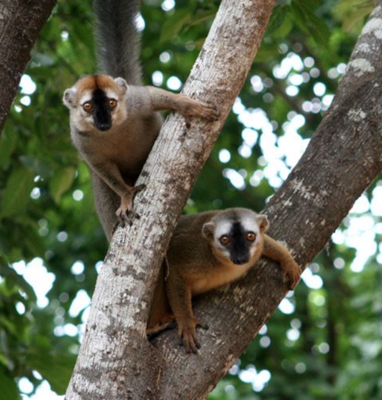 Two redfronted lemurs in a tree. Males have a red forehaed and females have a white forehaed. Photo: Fichtel