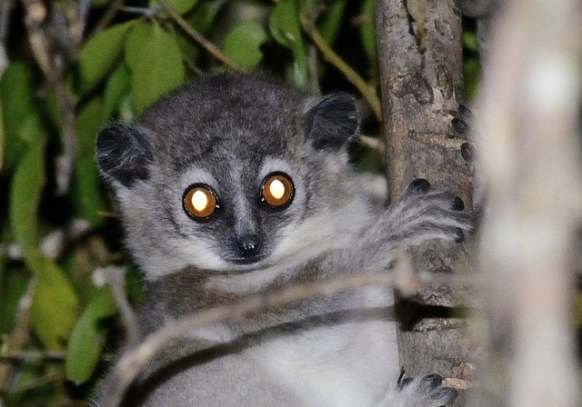 A juvenile white-footed sporty lemur (Lepilemur leucopus) is active at night. Photo: Hajarimanitra Rambeloarivony