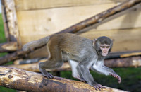 A rhesus monkey in the primate outdoor enclosure at the DPZ. Photo: Karin Tilch