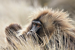 A gelada (Theropithecus gelada) in the Ethiopian highlands. Photo: Sascha Knauf