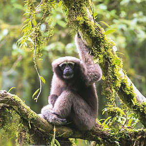 Skywalker Gibbon (Hoolock tianxing). Photo: Fan Peng-Fei