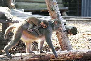 Rhesus monkey with offspring. Photo: Margrit Hampe