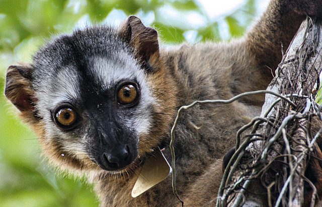 A red-fronted lemur in Madagascar. Photo: Anna Sperber