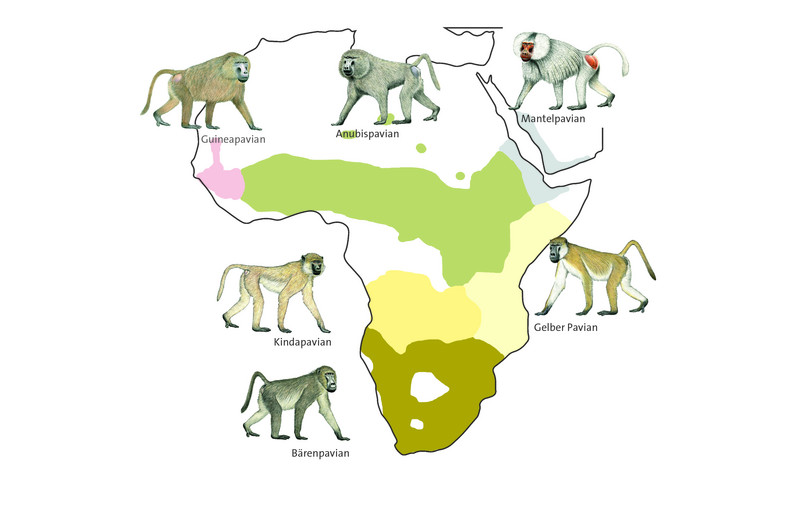 Distribution of the six species of baboons in Africa. Graphic: Luzie Almenräder, baboon drawings: Stephen Nash