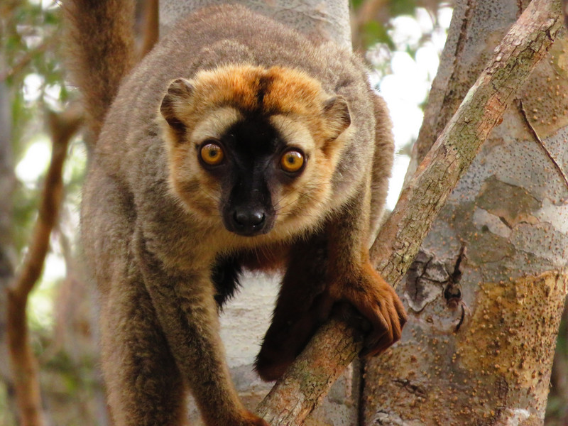 A male red-fronted lemur (Eulemur rufifrons) on a tree in Madagascar. Photo: Louise Peckre