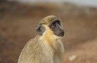 West African green monkey (Chlorocebus sabaeus) in Senegal. Photo: Julia Fischer