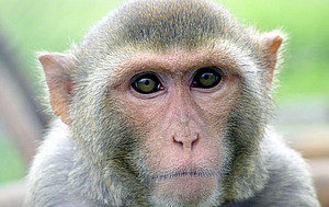 The photo shows a rhesus macaque