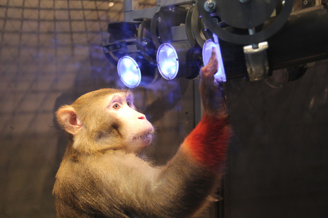 "A rhesus monkey (Macaca mulatta) learning to touch targets that are distributed in the ""Reach Cage"". The combination of video-based movement analyses and wireless brain recordings allow scientists to study the planning and execution of complex movement patterns towards targets beyond immediate reach. Photo: Michael Berger"