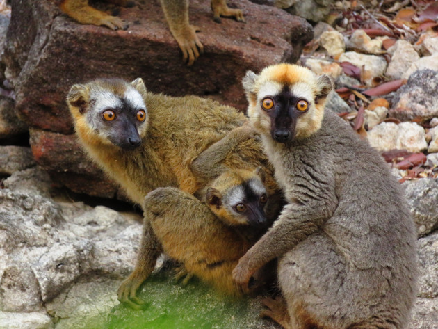 A female (left) and a male (right) red-fronted lemur with an infant (middle). Photo: Louise Peckre