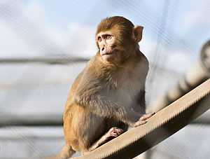 A rhesus monkey in the outdoor enclosure of the DPZ. Photo: Anton Säckl